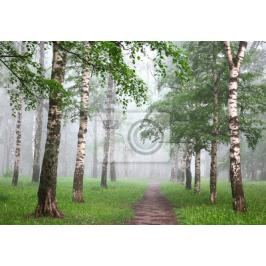Fototapeta Spring mist in birch forest