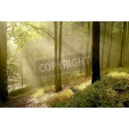 Fototapeta Misty autumnal forest with beech trees backlit by the morning sun Fototapety