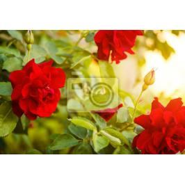 Fototapeta red roses bush at sunset light Fototapety